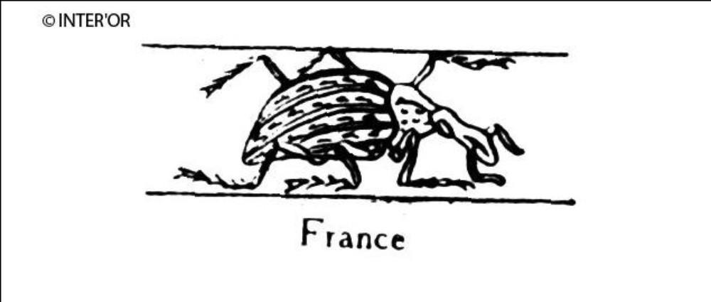 Charançon imperial